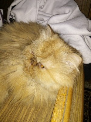 Кошка Перс
